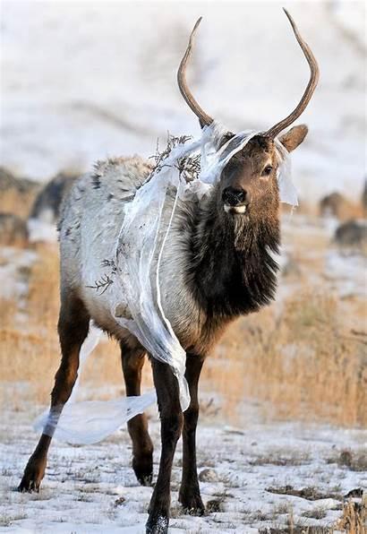 Elk Spike Bull Tempt Hunters Bozeman National