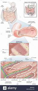 Diagram Of The Human Small Intestine  With Insets Of