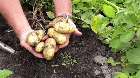 pommes de terre culture en pleine terre youtube