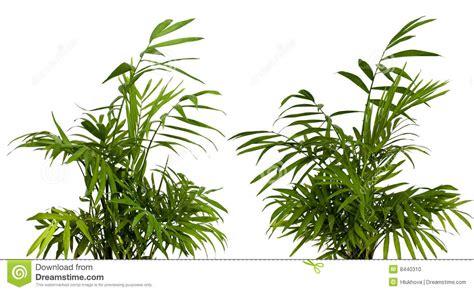 shrub image green shrub on white stock photo image 8440310
