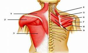 Can You Label Following Muscles Of The Posterior Shoulder