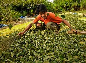 Bolivia Reduces Coca Plantings by Licensing Growers - The ...