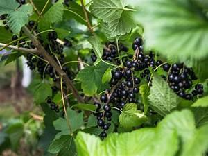 Schwarze Johannisbeere Pflanzen : schwarze johannisbeere 39 rosenthals langtraubige 39 ribes ~ Lizthompson.info Haus und Dekorationen