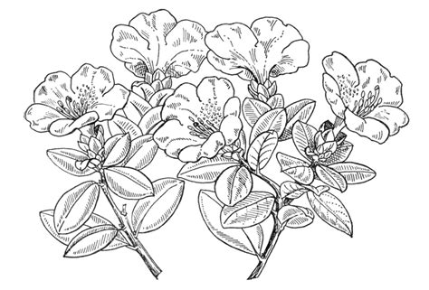 how to draw a rhododendron rhododendron tree drawing www pixshark com images galleries with a bite