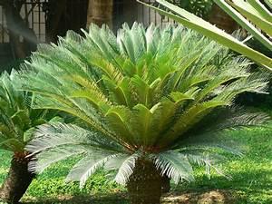 Cycas revoluta Common name: Sago Palm, King Sago Botanical Flickr
