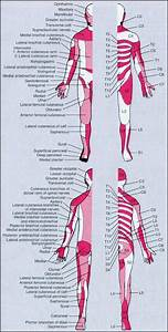 Map Of Dermatomes And Peripheral Nerves