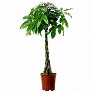 PACHIRA AQUATICA Potted plant Guinea chestnut 27 cm - IKEA
