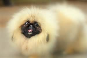 pekingese breed pekingese temperament grooming coat colors shedding health pekingeses