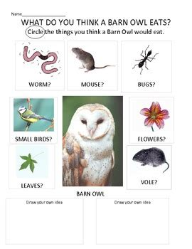 What Do Barn Owls Eat by Introduction To Owl Pellets What Do You Think A Barn Owl