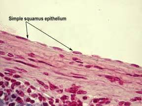 Simple Squamous Epithelium Tissue