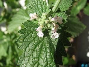 Pflanzen Für Raucher : echte katzenminze ~ Markanthonyermac.com Haus und Dekorationen
