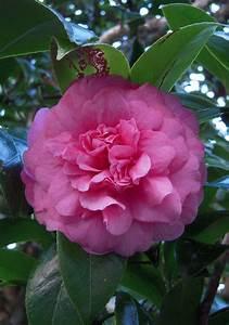 Camellia Japonica Winterhart : camellia japonica 39 triumphans 39 david medway birds and plants kete pukekura park ~ Eleganceandgraceweddings.com Haus und Dekorationen