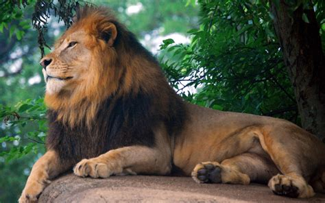 Animal Zoo Wallpaper - king of zoo wallpapers hd wallpapers id 12958