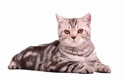 Cat Sitting Transparent Background Kitten Cats Scottish