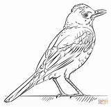 Coloring Robin Bird Pages Draw Drawing Printable Robins Tutorials Birds Step Template Colouring Supercoloring Cartoon Crafts Beginners Bullfinch Aphrodite Drawings sketch template
