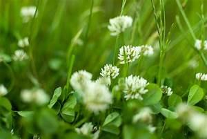 Kalk Gegen Pilze : klee im rasen kalk daher gilt es auch nicht zu frh mit dem ersten mhen zu beginnen denn ~ Michelbontemps.com Haus und Dekorationen