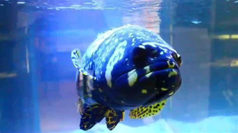 grouper fish aquarium giant monster bumblebee goliath epinephelus lanceolatus