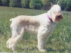 Schnauzer, Giant Breed Guide - Learn about the Schnauzer ...