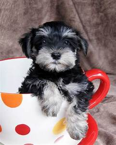 Black and Silver mini Schnauzer   *Just Because*   Pinterest