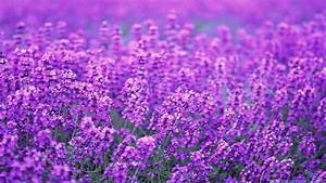 Lavender Flowers wallpaper | 1920x1080 | #4899