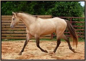 sable cream dun - Quarter Horse stallion Sierra Hesa Chief ...