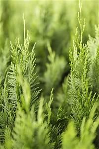 Pflanzen Die Schnell Hoch Wachsen : blaue zypresse scheinzypresse pflanzen pflege und schneiden ~ Michelbontemps.com Haus und Dekorationen