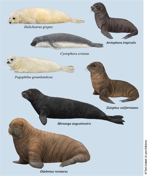 Walrus Vs Elephant Seal by Sea Vs Seal Vs Walrus