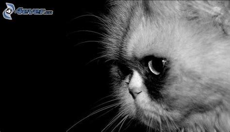 chat persan noir chat persan