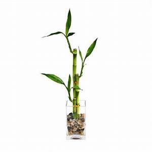 Lucky Bamboo Plant :: Tall Pagoda