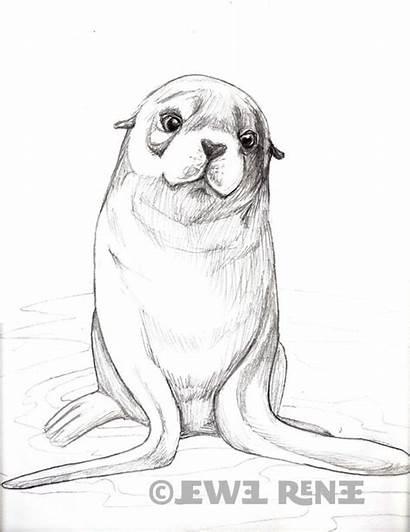 Seal Drawing Fur Pup Sketches Drawings Pencil