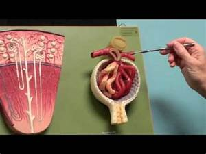 Kidney Blood Flow