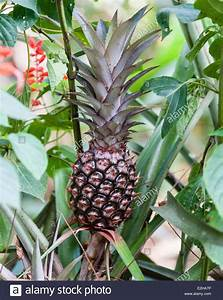 Pineapple plant with fruit (Ananas comosus), Spice Garden ...