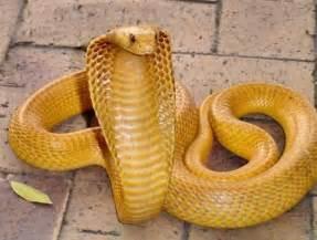 Yellow Cobra Snake