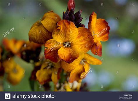 wallflower example alamy flowers english