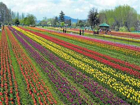 see asia s largest tulip asia s largest tulip garden open to tourists