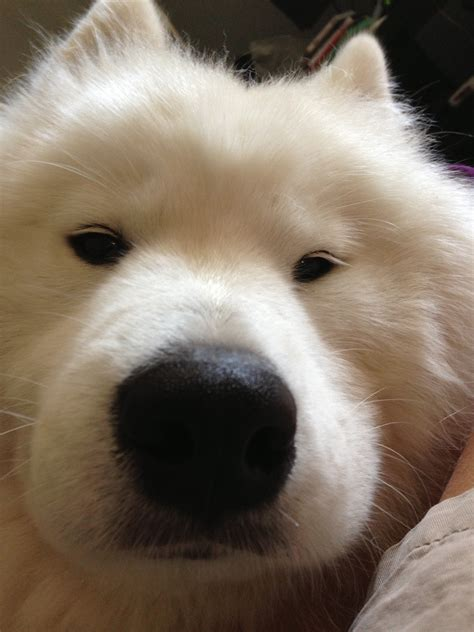 This Would Be The Perfect Dog For Me Amazing Samoyed