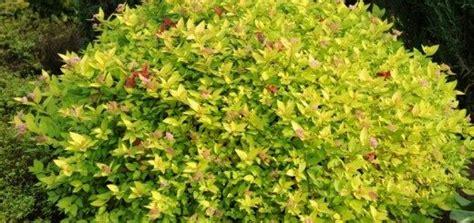 Spireja Japānas Gold Mound /Spiraea japonica Gold Mound ...