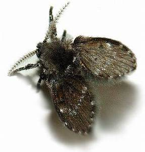 How to get rid of drain flies fast for Tiny moths in bathroom