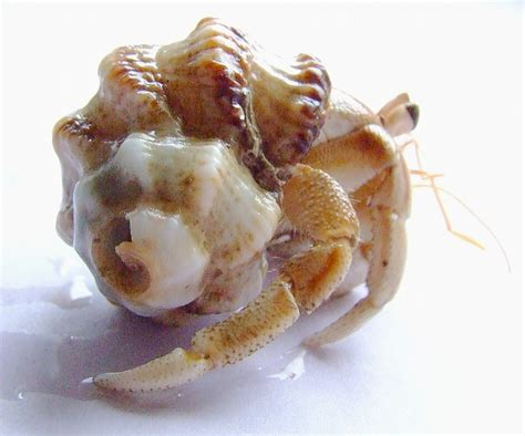 what do hermit crabs eat what do hermit crabs eat