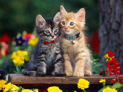 Kitten Backgrounds by Kitten Wallpaper 1024x768 Cats Wallpaper 12251034
