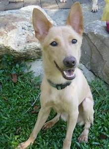 Wild Dingo | Formosan Mountain Dog Needs Adoption