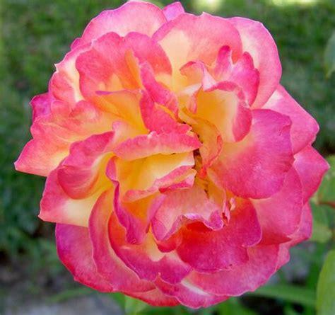 Rosa matizada   Esta é mais uma rosa, muito linda, do meu ...