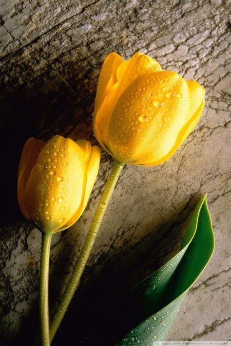 wet yellow flower  hd desktop wallpaper   ultra