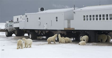 Polar Bear Viewing | Churchill Polar Bears