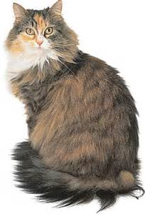 maine coon cat for maine coon pictures pics images and photos for inspiration
