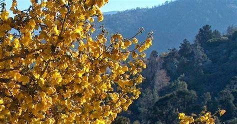 ca native garden california gold flannel bush