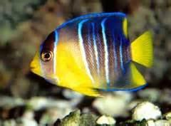 FreshMarine.com - Blue Angelfish - Holocanthus bermudensis ...