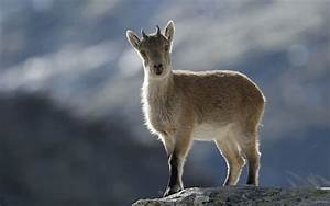 Extinct ibex is resurrected by cloning - Telegraph