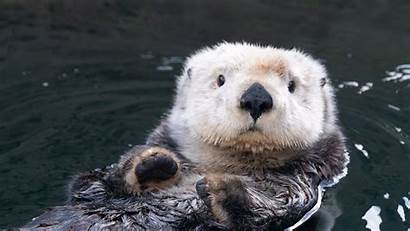Otter Sea Aquarium Vancouver Otters Animal Underwater
