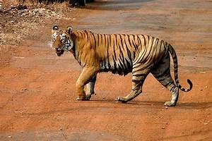 Panthera tigris tigris - Wikimedia Commons  Wild